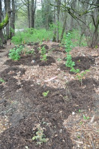 Photo of mulched bareroots, Green Seattle Partnership